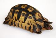 burchell tortoise