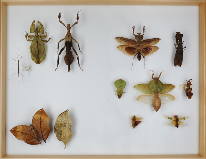 Natural camouflage, stick insects, mantids and leaf butterflies