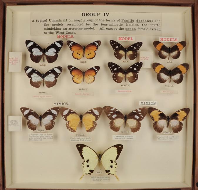 Mimetism, African butterflies (Papilio dardanus)