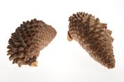 pine narrowcone