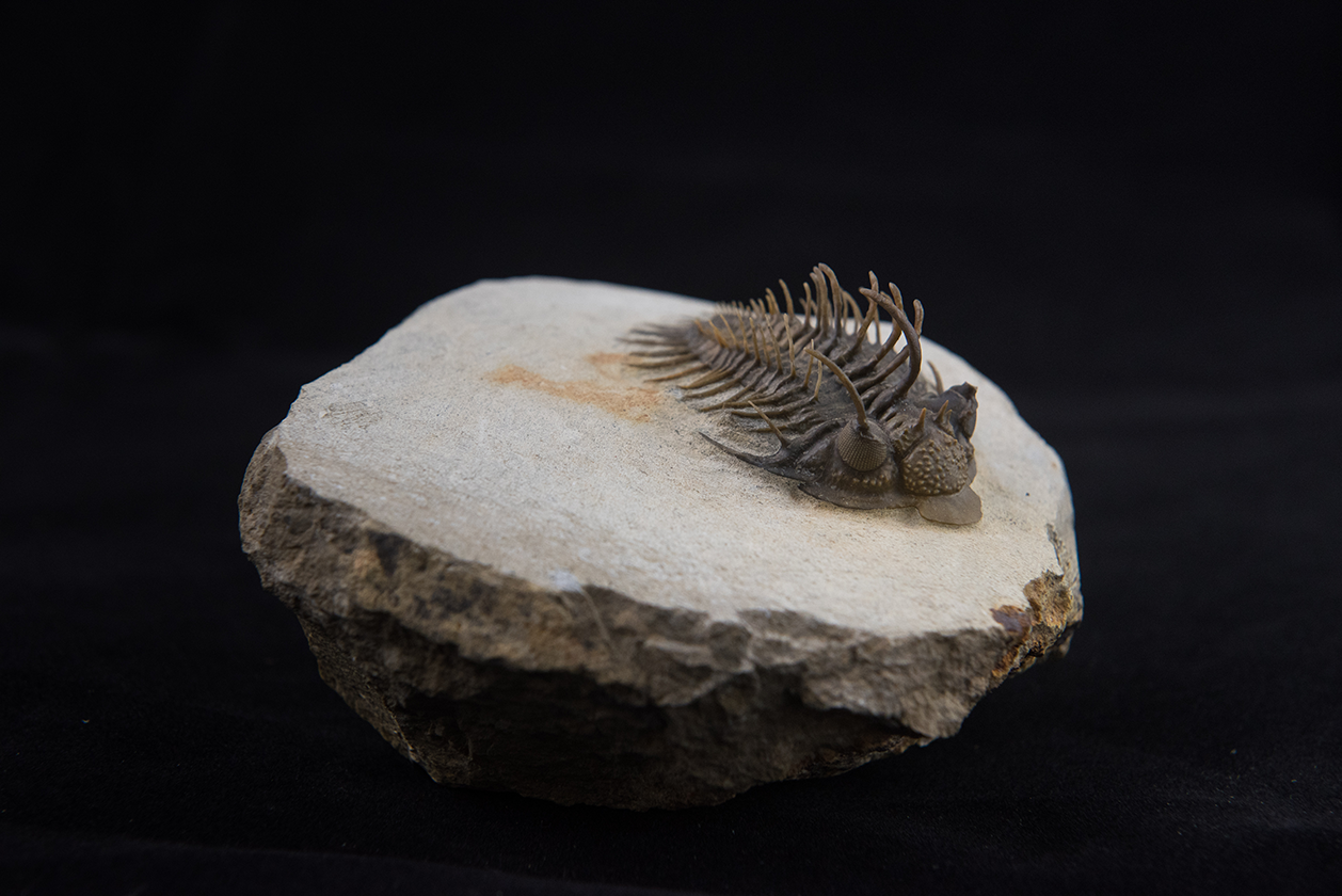 Trilobite Comura bultyncki from the Devonian of Djebel Issoumour, Morocco.
