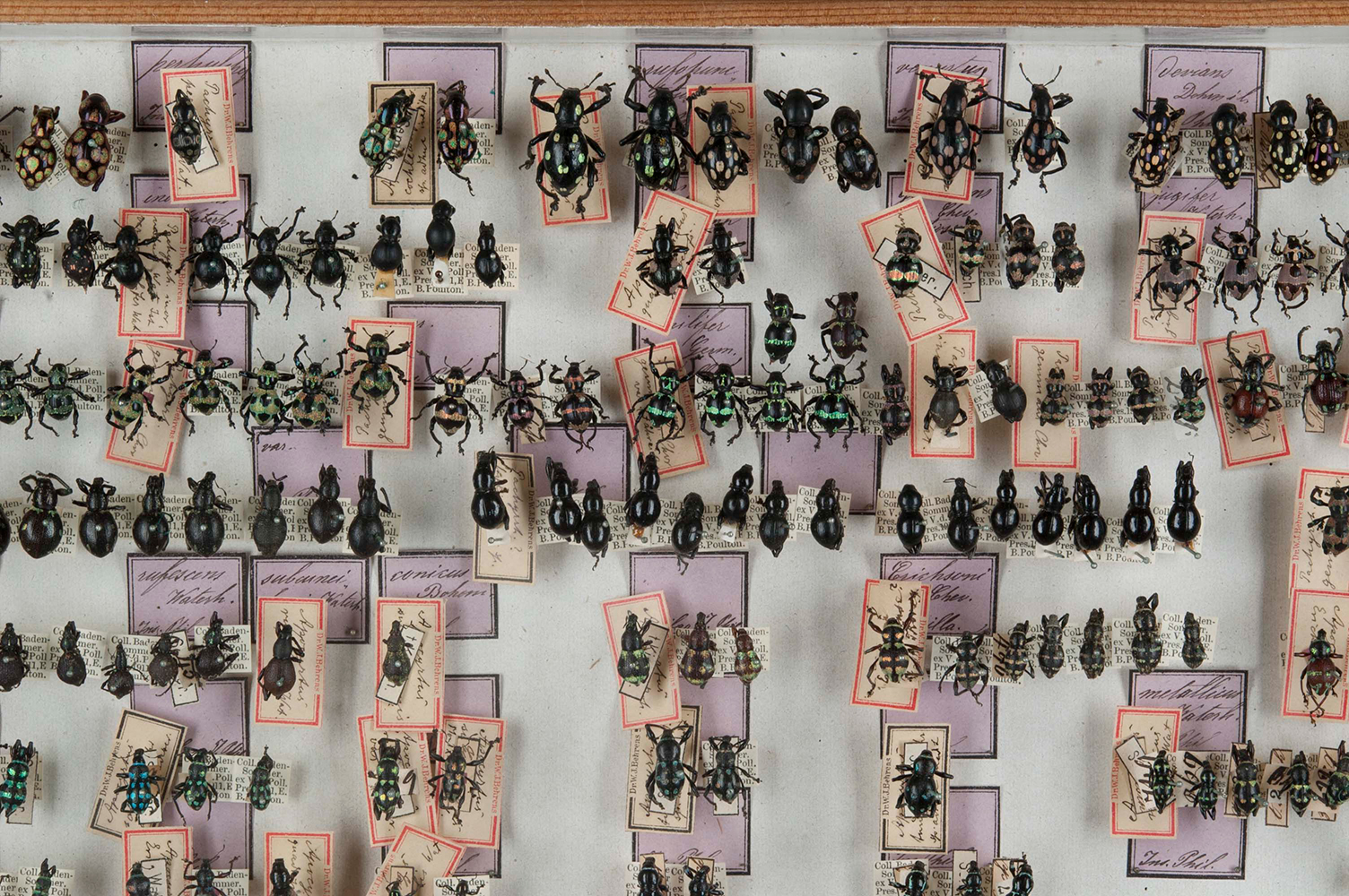 weevil collection insects