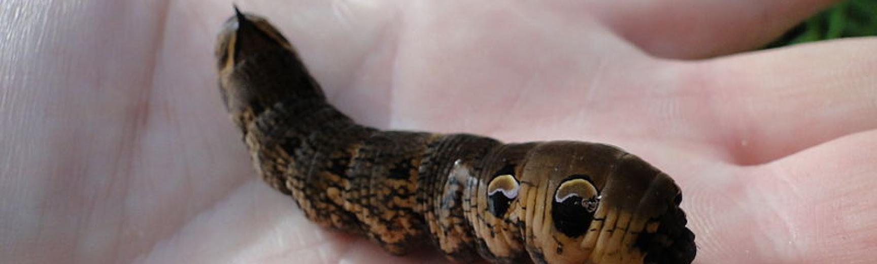 Deilephila elpenor with head retracted