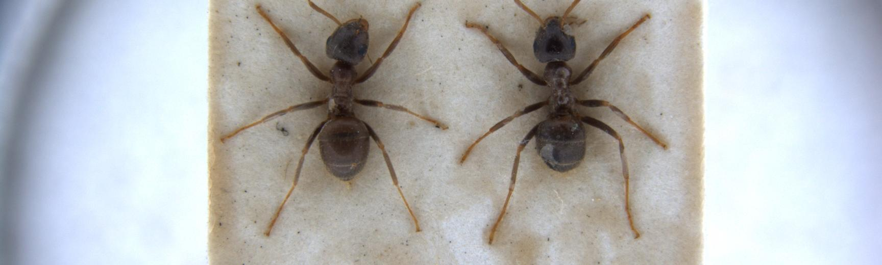 lasius niger workers