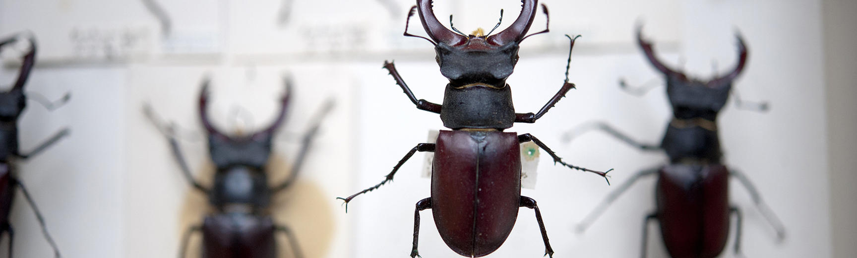 stag beetle oumnh