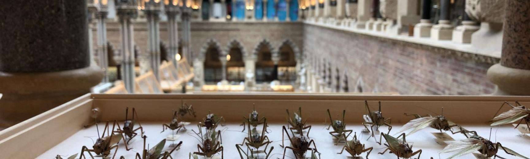 HOPE Great green bush crickets with Oxford University Museum of Natural History arch