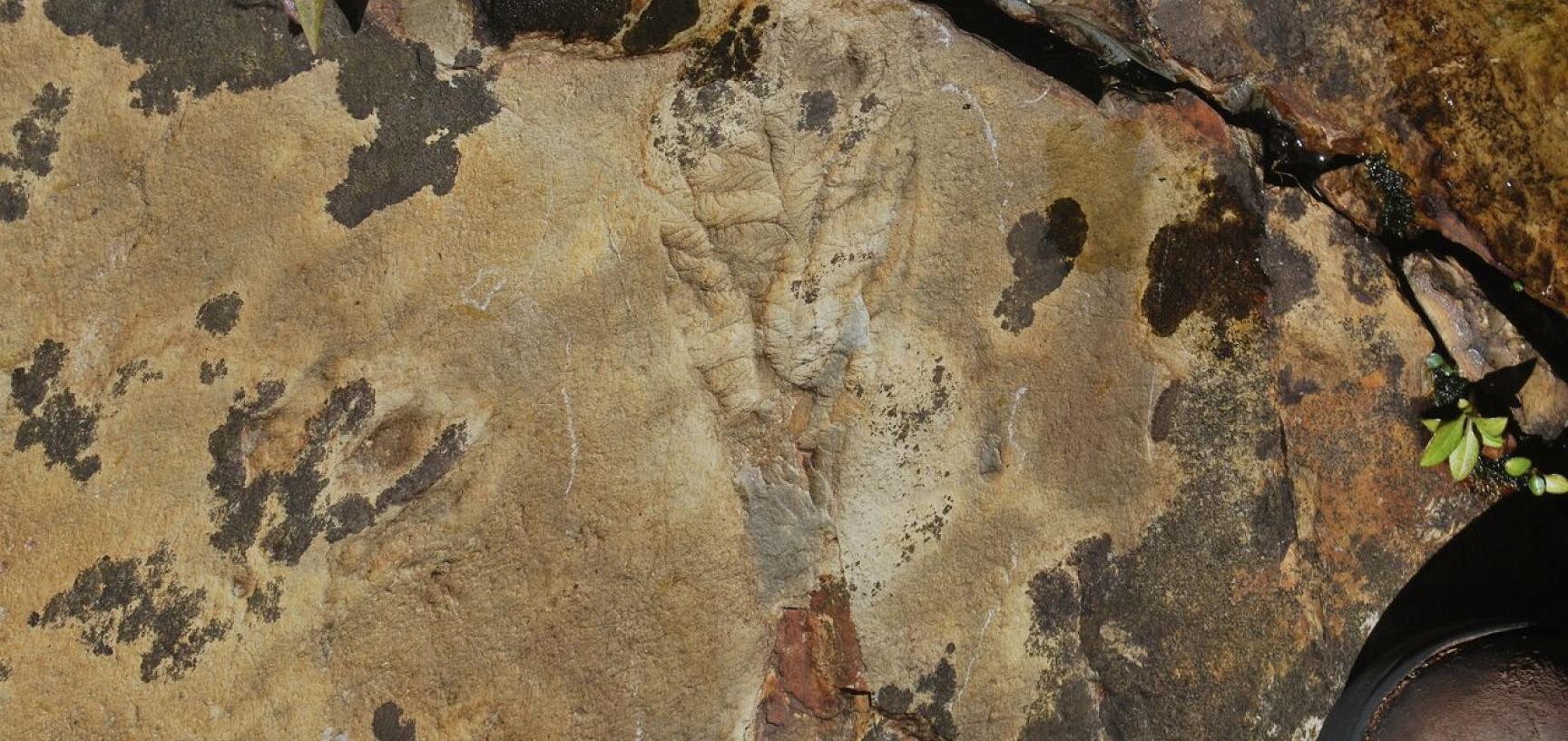 An Ediacaran frondose organism from the Discovery Aspiring UNESCO Geopark, Newfoundland