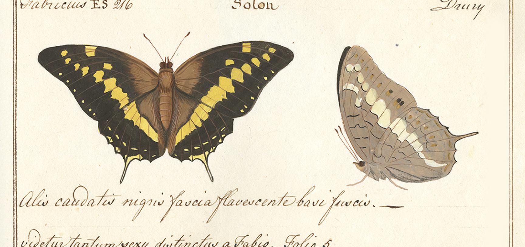Papilio solon, Fabricius, 1793