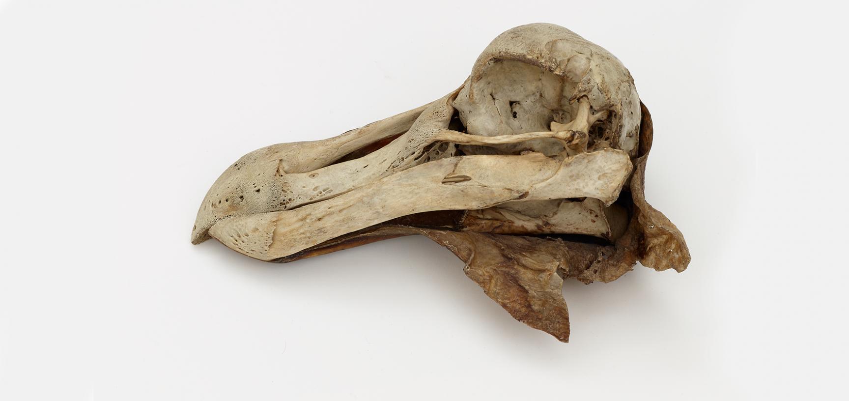 Dodo's skull