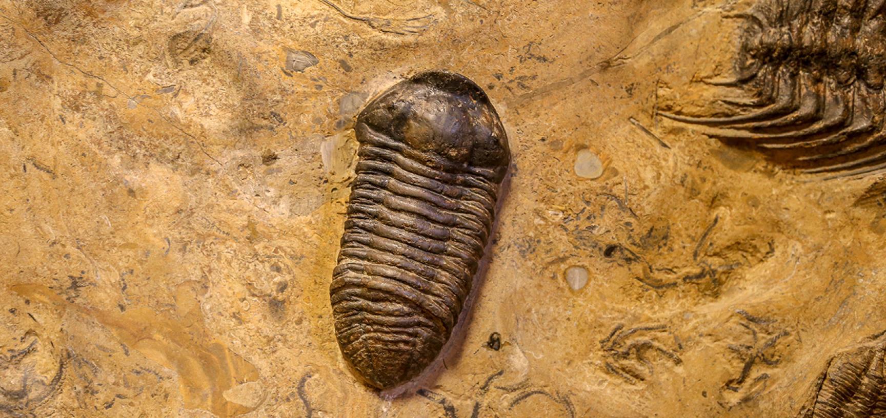 Calymenella trilobite