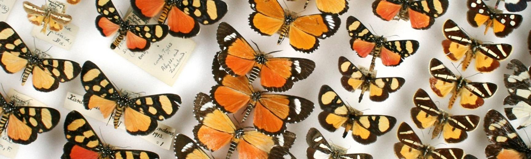 butterfly specimens