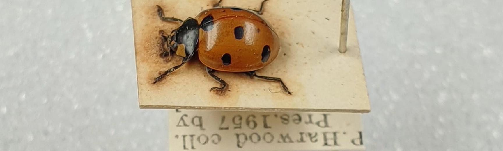 coleoptera ladybird