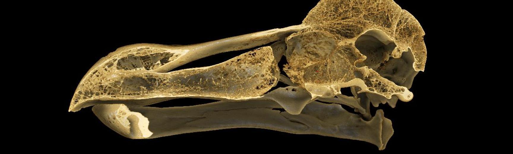 CT scan of the Oxford Dodo skull