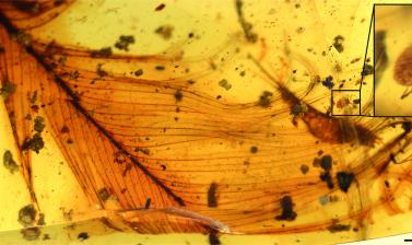 A Cornupalpatum burmanicum tick grasping a feather in 100-million-year-old Burmese amber.