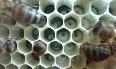 Feeding the young – a close up of our bee larvae