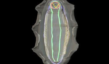 Callochiton septemvalvis