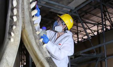 Ammonia cleaning of whale jaw