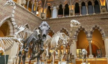 Skeletons from left to right: giraffe, Irish elk, dromedary and young Asian elephant