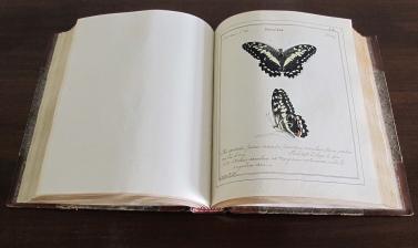 Jones's drawing of Papilio demoleus in the Volume I of his six volume manuscript of paintings