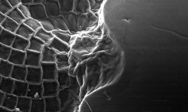 Nebenauge, structure on the eye in shrimps with unknown function