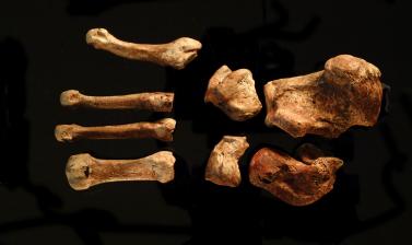 Bones of the left foot.