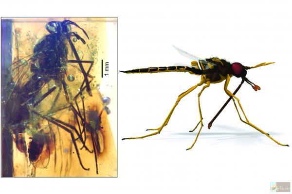 5 proboscis bearing fly v2