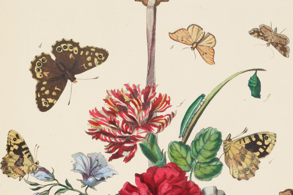 Butterflies drawing, part of the Archive collection, Museum of Natural History