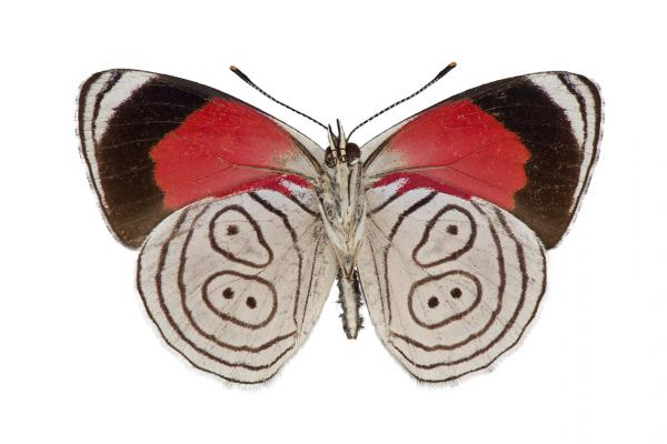 callicore euclides copy