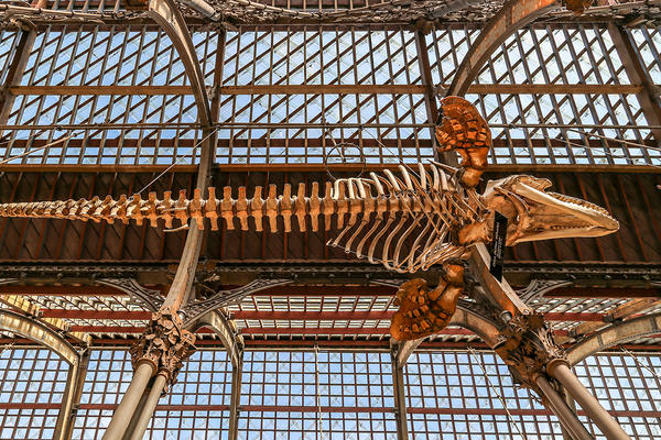 Killer whale (Orcinus orca) suspended skeleton, photographed from below