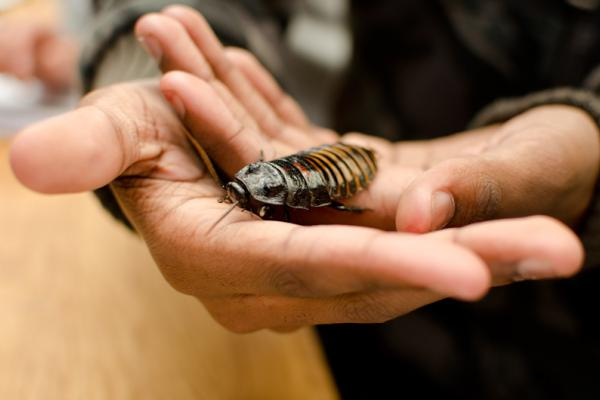 A visitor holding a coackroach at the Museum