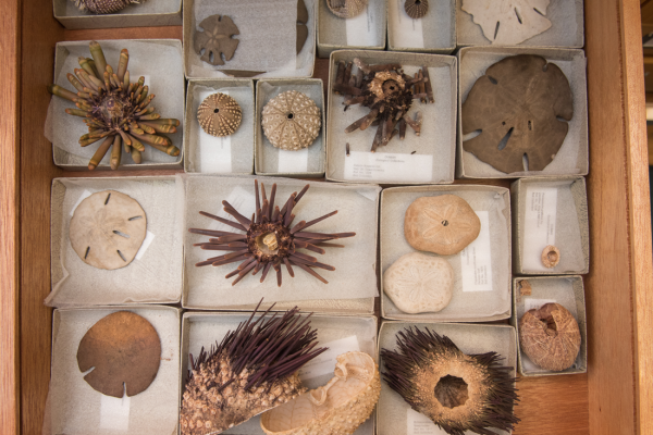 Echinodermata collection, Oxford University Museum of Natural History