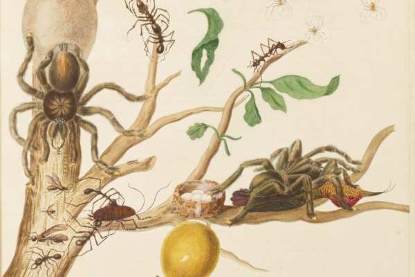 Maria Sybilla Merian's Insects of Suriname