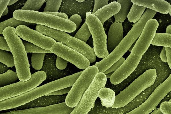 koli bacteria 123081