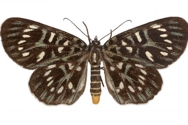 lepi0555 conferta walker dorsal copy