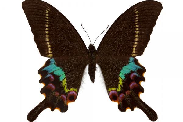 lepi4019 manipuri tytler dorsal copy