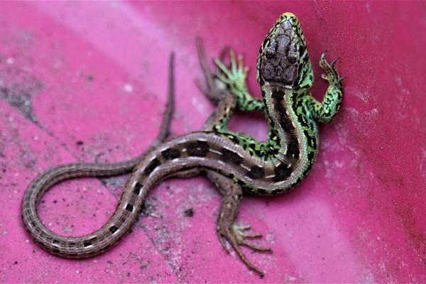 lizard 4291013