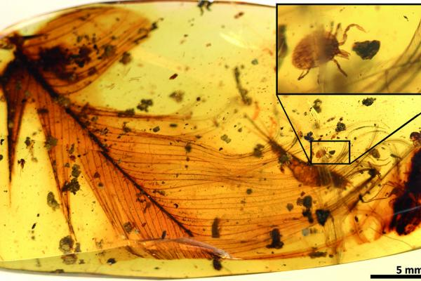 lr1 hard tick grasping a dinosaur feather preserved in 99 million year old burmese amber extracted from the open access publication