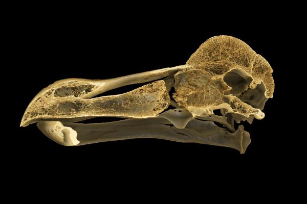 CT scan of the Oxford Dodo skull