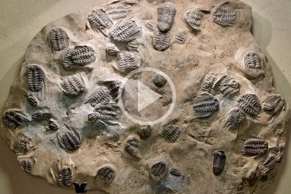 trilobite wall audio