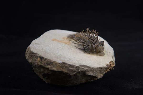 Trilobite Comura bultyncki from the Devonian of Djebel Issoumour, Morocco.