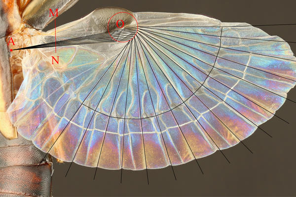 Schematic for the new design method of the earwig-inspired fan shown projected onto the hind wing of an earwig (Proreus simulans).