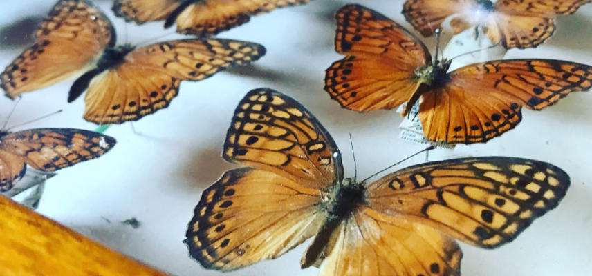 butterflies drawer