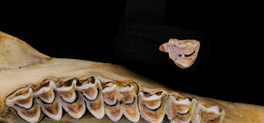 teeth serow (Capricornis sumatraensis)