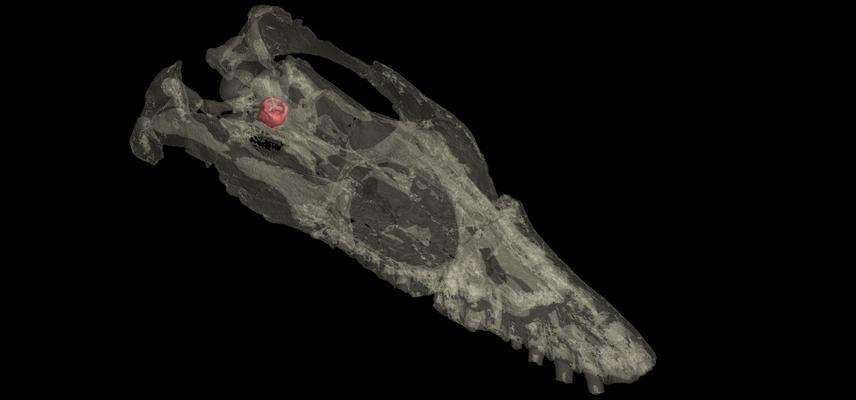 libonectes morgani