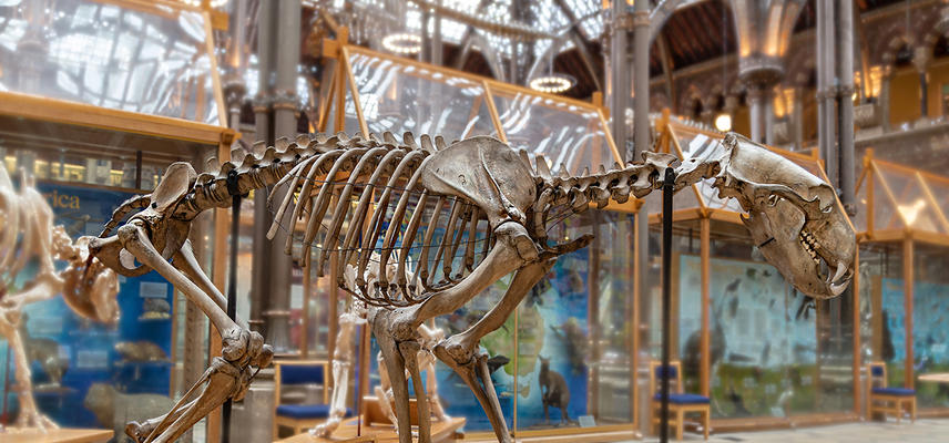 polar bear skeleton