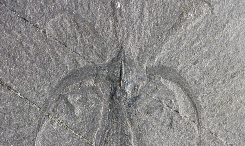 Marrella splendens, the most common arthropod from the Middle Cambrian Burgess Shale on Fossil Ridge, British Columbia.