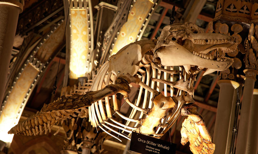 Orca skeleton from the roof at Oxford University Museum of Natural History
