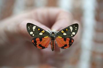 callimorpha oumnh butterfly