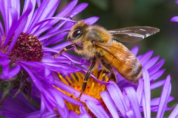 Bee on a flower by Dustin Humes
