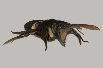 wallaces giant bee megachile pluto